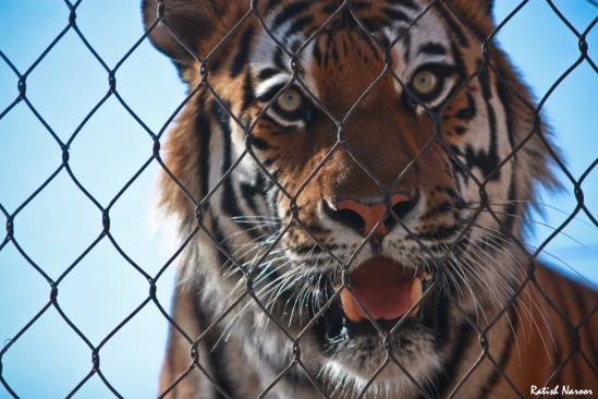 utah-Hogle-Zoo-tiger-cage-pictures-wallpaper